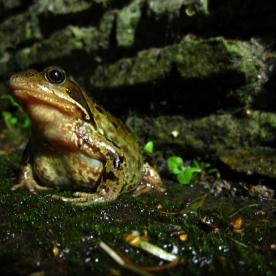 england frog